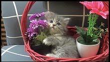cute pure persian kitten boy 2 month old