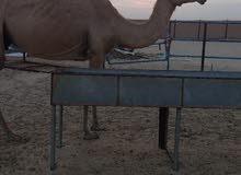 ناقه عمانيه