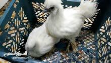 زوج دجاج سلكي نظيفات