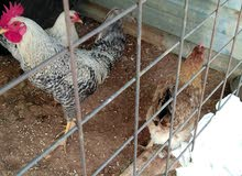 يوجد دجاج بلدي للبيع ديك ودجاجتينالكوم على 20   قابل لتفاوض