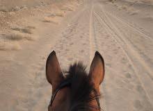 مطلوب حصان عربي العمر 5 ألا 7 الي معه يتواصل معي وات.