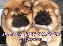 كلاب جاو جاو للبيع // Chow Chow Dogs for sale