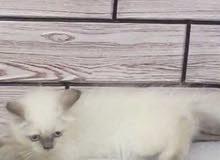 قطه هملايا انثى 3 اشهر