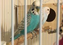 holland birds