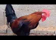 دجاج عرب وهراتي للبيع