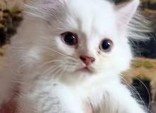 قطط شيرازي للبيعع