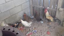 منو عنده دجاج عرب البيع