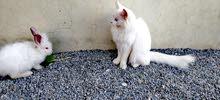 قط أنثى
