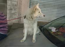 كلبه الاسكا لون سكري بسعر مغري