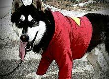 كلب هاسكي ذكر للبيع