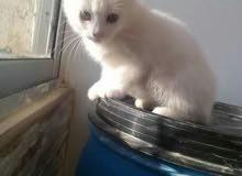 (عرض خاص اي قطه شيرازي مكس انجورا فقط ب(15)