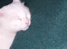 قطه جميله واليفه للبيع