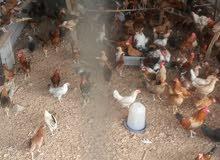 للبيع دجاج بلدي منتج