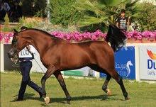 حصان عربو واهو للبيع
