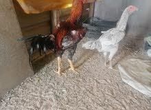 دجاجه وديج