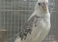 White female cockatiel for sale