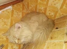 قطه شيرازيه للبيع أليفه جدا وذات لون جميل