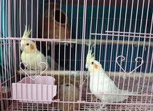 yellow couple cockatiel birds male and female