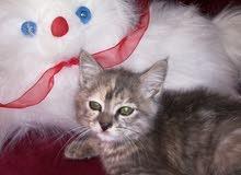 قطط صغيرة شيرازي مكس بيور