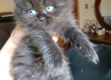 قطط شيرازية العمر 50 يوم ومتعلمين عالليتر بوكس ولعوبين