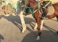 حصانين للبيع