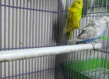 زوج طيور حب دبل كرست كورك سبانجل كورك قوية السعر 65 عنواني ابي الخصيب 0773524203