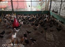 دجاج عماني ب 500 بيسة التوصيل للكميات متوفر مجانا