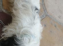 كلب تيرتير زينه