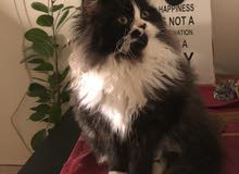 قطة للبيع الام بيكي فيس وأب راغدول