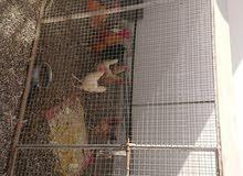 دجاج بياضات و ديكه للبيع