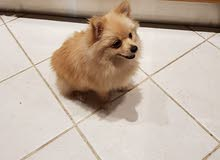 Lovely Pomaranian puppy female for sale