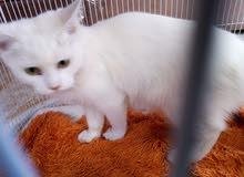 قطه وقط