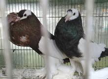 للبيع نواع من الطيور بوم و كريمي وملكي وحمام نفاخة وجاوة وطيور الحب هاجرمو وحية