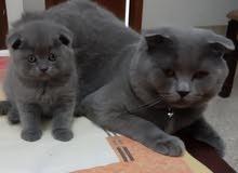 cat for marriage قط للتزاوج