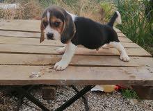 beagle 500$