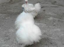 زوج دجاج سلكي للبيع07708465071