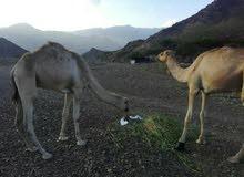 قعدان صومالية
