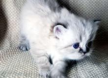 قطة هيمالايا تشوكلت