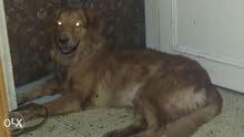 كلب جولدن نتاية