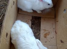 لبيع ارانب هولندية بيور لبيع زوج منتج السعر15ريال
