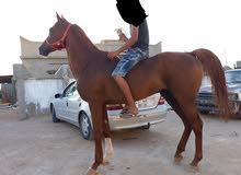 حصان للبيع كاش او شيك مواليد 2007