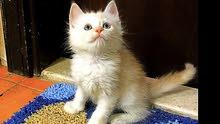 قطة شيرازي انثي شهرين. Persian kitten 2 month