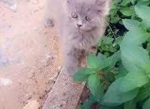 قطة شيرازية للبيع  الجنس/ انثى و ذكر العمر/  شهرين  اللون/ ابيض و رصاص   المطلوب