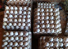 بيض دجاج عربي مخصب