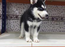 كلب هاسكي سبيري