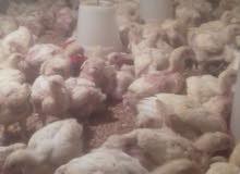 دجاج ابيض للبيع وزن 1000 و900