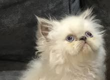 قطتين بيرشن بيكي فيس