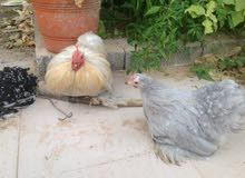 كوبيتين دجاج استرالي