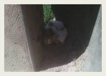 catrina قطة ليبيا