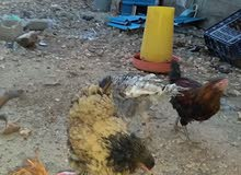 ديكين ودجاجه بانكس لحيه حجم الجامبو العمر 6شهور و عتوق رومي وعتوق فرعوني